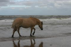 Horse sea-walking Royalty Free Stock Image