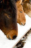 Horse seek food Stock Images