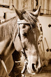 Horse in sepia Stock Image