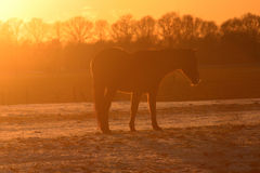 Horse in setting sun. Horse with orange background of the setting sun, on a frozen meadow Royalty Free Stock Images