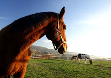 Horses Graze in the Setting Sun royalty free stock images