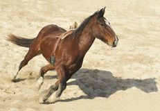 Horse and Shadow. Horse galloping at full speed stock photography