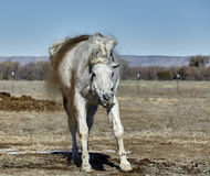 Horse Shaking Dirt Off Royalty Free Stock Image