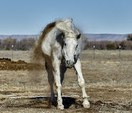 Horse shaking Dirt Off after Rolling Royalty Free Stock Images