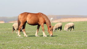 Horse and sheep stock video footage
