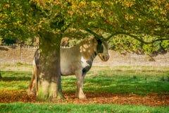 Horse sheltering under tree on Minchinhampton Common; The Cotswolds; Gloucestershire royalty free stock photo