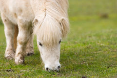 Horse / Shetland Pony grazing Royalty Free Stock Image