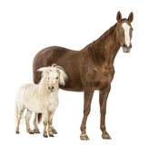 Horse and Shetland standing next to each other Royalty Free Stock Image
