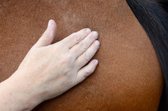 Horse shiatsu massage Royalty Free Stock Photography