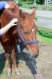 Horse shiatsu massage Royalty Free Stock Photography