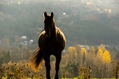 Horse Shiloutte Royalty Free Stock Image