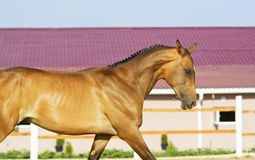 Horse with short black mane runs in the paddock Stock Photography