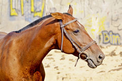 Horse with a short black mane stands next to a wall which is painted graffiti Royalty Free Stock Image