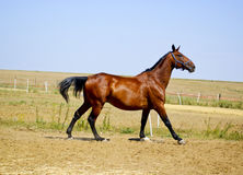 Horse with a short black mane walking in a field Stock Photo
