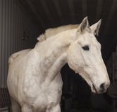 Horse with a short mane and black eyes stand in the stable Royalty Free Stock Photo