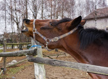 Horse shout of pain Royalty Free Stock Photo