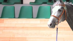Horse on a show. Gray purebred horse on a show indoors stock video footage