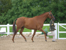 Horse In The Show Ring Royalty Free Stock Photos