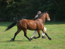 Horse In The Show Ring. A horse is trotted up in the show ring stock photo