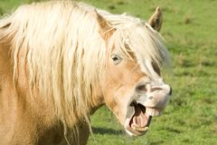 Horse showing teeth. Beige horse with white hair showing teeth Royalty Free Stock Photo