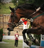 Horse on showjump event. Jumping Royalty Free Stock Photography