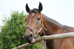 Horse shows tongue. Portrait of a horse in the countryside, Orel horse Royalty Free Stock Images
