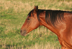 Horse Side Portrait. A beautiful redish brown horse side-portrait Stock Photo