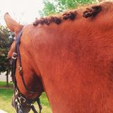 Horse. Side view of a chestnut horse with braids Stock Image