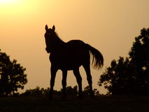 Horse silhouette. A horse silhouette at sunset on country ranch Stock Images