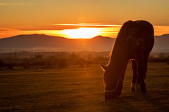 Horse silhouette at sunset. Golden sky Stock Photos