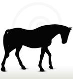 Horse silhouette. In Walking Head Down position Royalty Free Stock Photography