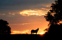 Horse sillouette. Against sunrise Stock Images