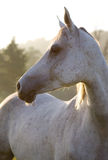 Horse on sinrise Stock Photos