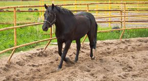 Horse on the site for training Royalty Free Stock Images
