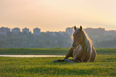 Horse sitting down Royalty Free Stock Image