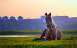 Horse sitting in sunset Stock Photos