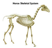 Horse Skeletal System Stock Photo