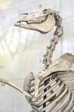 Horse skeleton. Bones Stock Photos