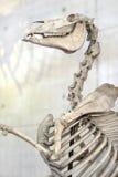 Horse skeleton. Bones stock images