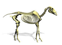 Horse Skeleton - with clipping path Royalty Free Stock Photography