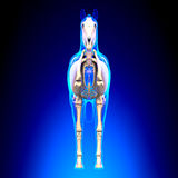 Horse Skeleton Front View - Horse Equus Anatomy - on blue backgr Stock Images