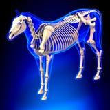 Horse Skeleton - Horse Equus Anatomy - on blue background Stock Photography