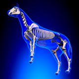 Horse Skeleton - Horse Equus Anatomy - on blue background Stock Photo