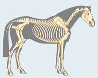 Horse skeleton. Scientific illustration: horse skeleton - Isolated on sky blue Stock Photography
