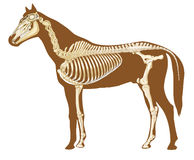 Horse skeleton section. With bones x-ray Royalty Free Stock Image