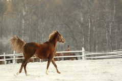 Horse skipping on a snow in winter Stock Photos