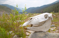 Horse skull. Chon Aksu Valley Kyrgyzstan Royalty Free Stock Images