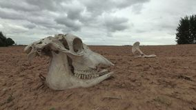 Horse skull and bone on dry field, time lapse. Horse skull and bone on dry agriculture field, time lapse stock video footage