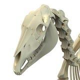 Horse Skull Cranium - Horse Equus Anatomy - isolated on white Stock Photos