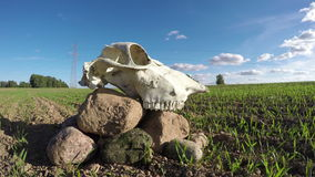 Horse skull cranium on stones in field. Memory concept, timelapse 4k stock video footage